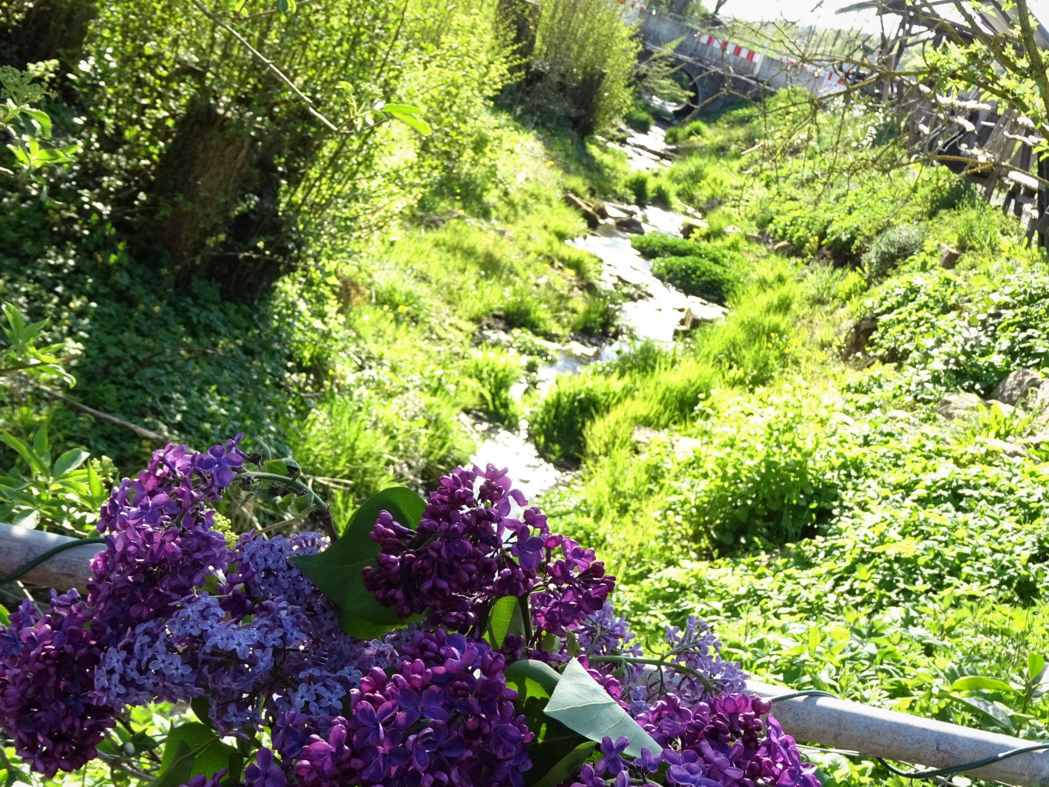 Flieder und Bachlauf im Frühling